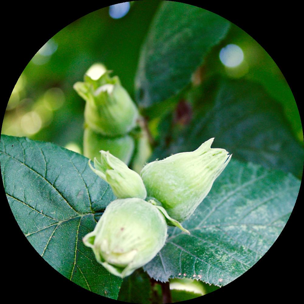 Organic Italian Hazelnuts shown in the wild