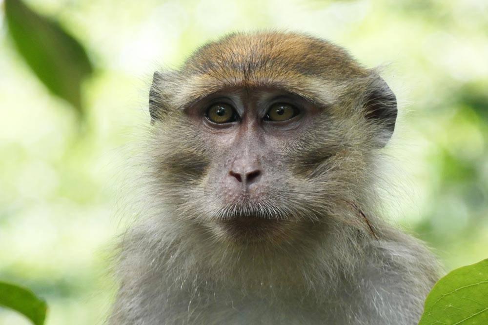 Travelbay Borneo Tours - Neil & Fiona in Borneo - Customer Review - Macaque, Kinabatangan River