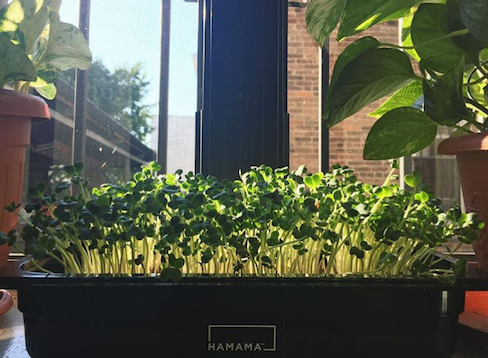 Fully grown daikon radish microgreens growing in front of a window.