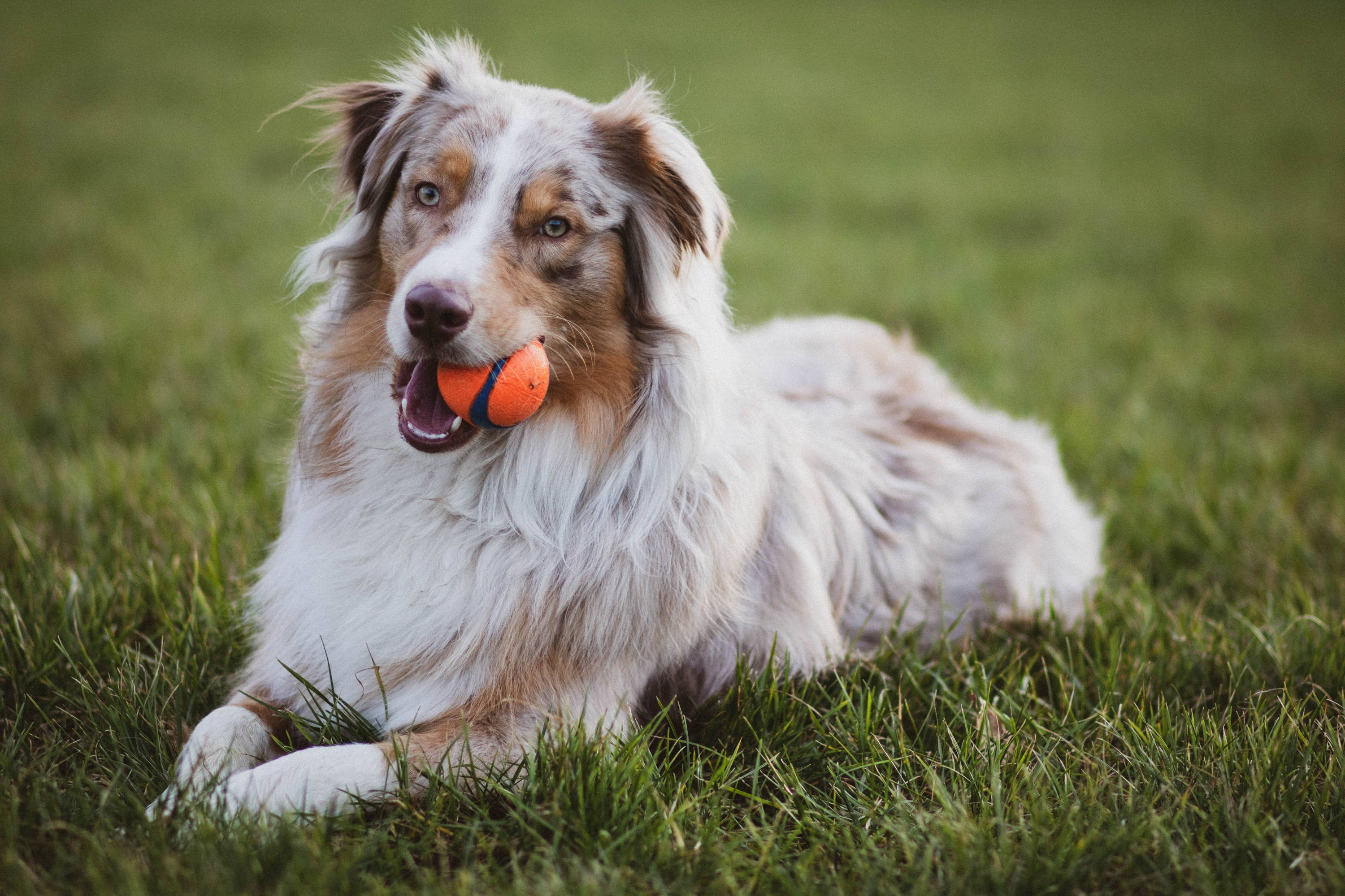 Australian Shepherd In The Grass
