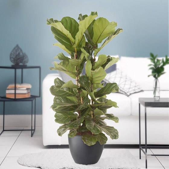 Ficus lyrata XL — Lantlevelű fikusz