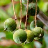 Organic Macadamia Nut Seed Oil