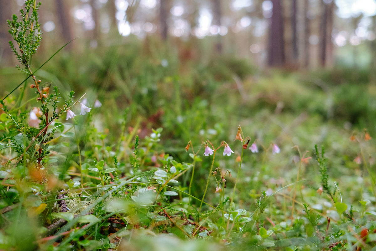 The pink bell-shaped flowers of twinflower bring colour to the forest floor