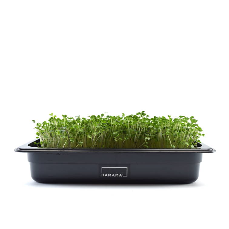 Fully grown homegrown spicy microgreens in a grow tray.