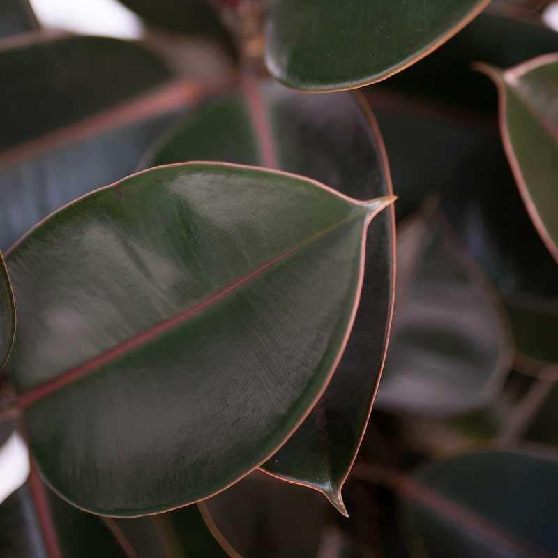 Ficus Elastica Leaves