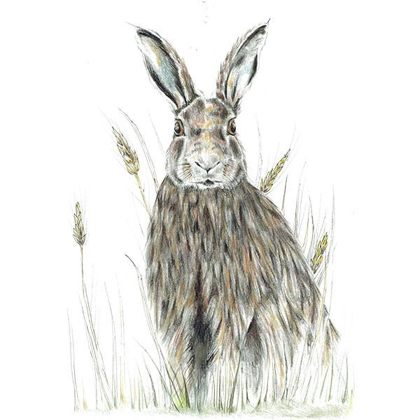 1205 - Hare in Wheat - Countryman John