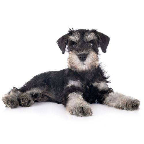 Schnauzer, Bone Idol Healthy Dog Food, Functional Ingredients, Beef, Pork, Lamb, Venison, Game,  Best for your Dog,