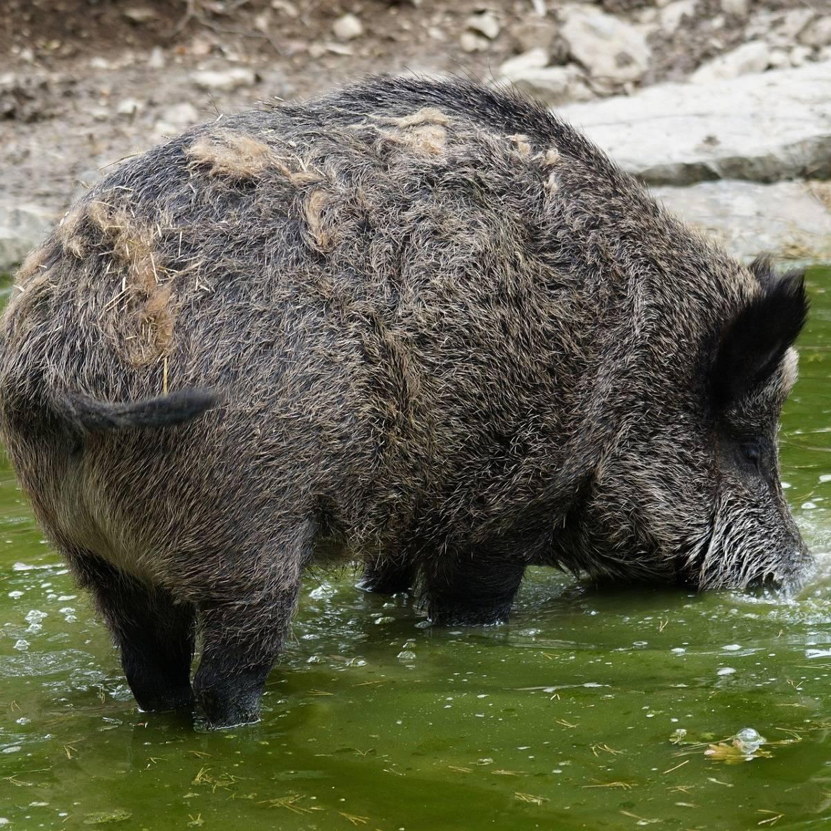 A big black boar in a watering hole