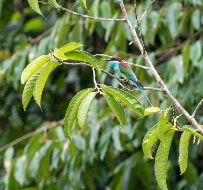 Travelbay Borneo Tours - Customer Reviews - Simon Collard - Danum Valley - Blue-throated bee eater
