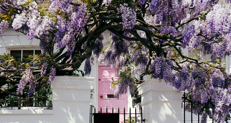 Wisteria, Cascading Waterfall of Flowers