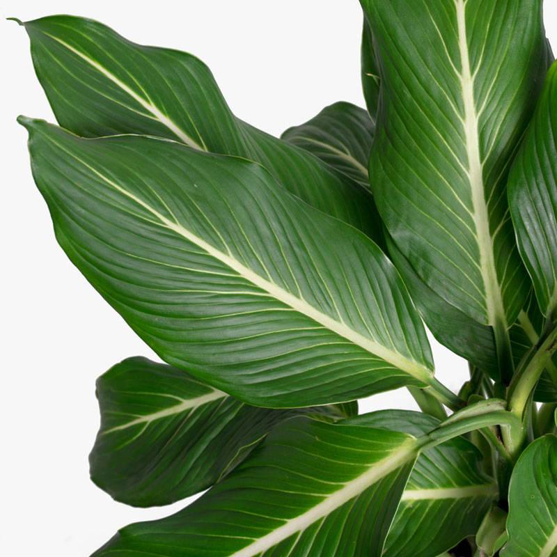 Dieffenbachia Sterling Leaf