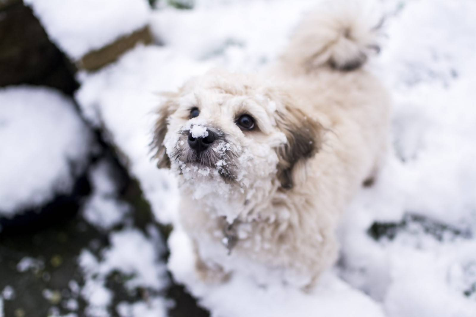 A Bichon Frise playing in the snow