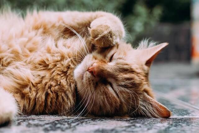 Improve Cat Gut Health and Cat Digestive System