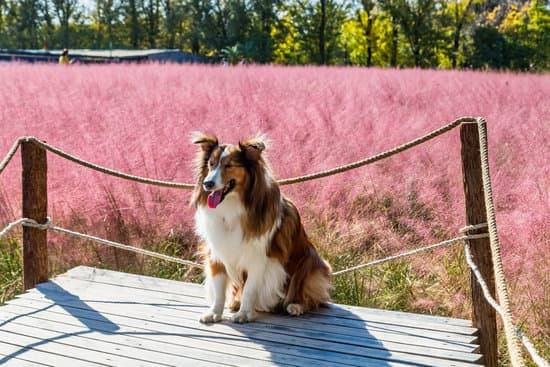 an older collie sits on a deck in front of a rope fence and field of pink blooms