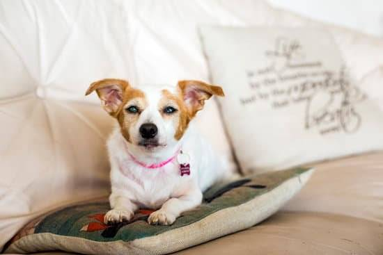 Terrier with cataracts laying on a pillow on the couch with a pink collar on