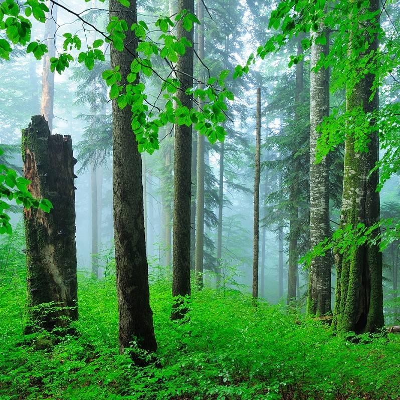 A beech fir forest in Southern Carpathians