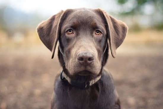 a brown lab looking straight at the camer standing in a field