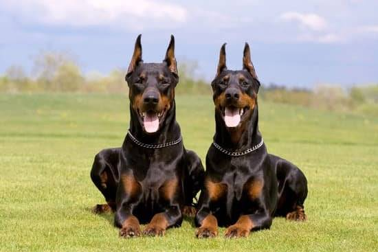 Two dobermans lay in a grass field