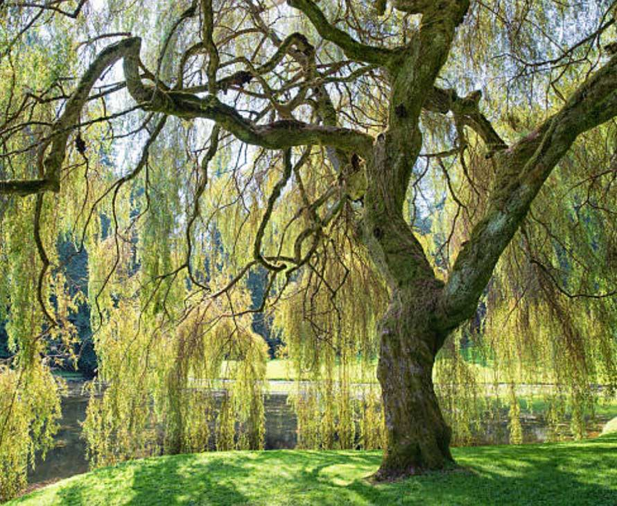 willow trees for sale