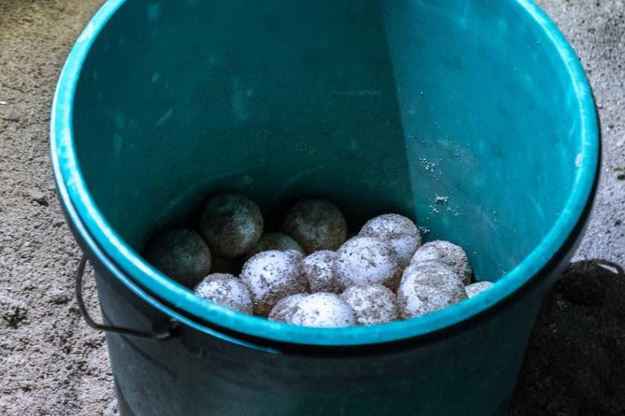 Travelbay Borneo Tours - Customer Reviews - Simon Collard - Selingan Island - transporting the eggs