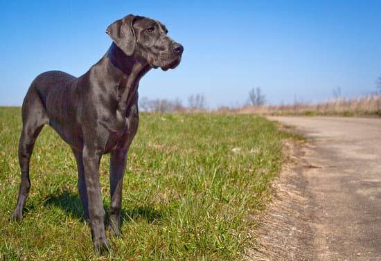 A black Great Dane stands in grass off a roadside and gazes