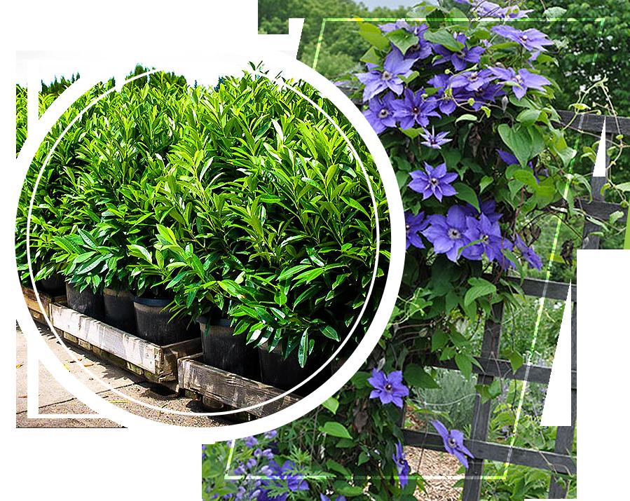 Skip laurel plants