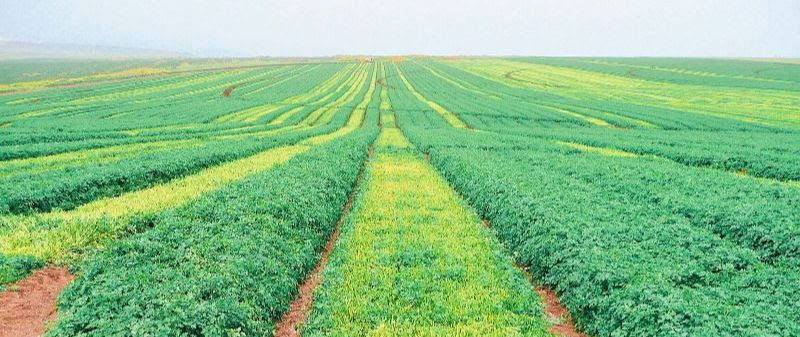 bright green fields of parsley in israel