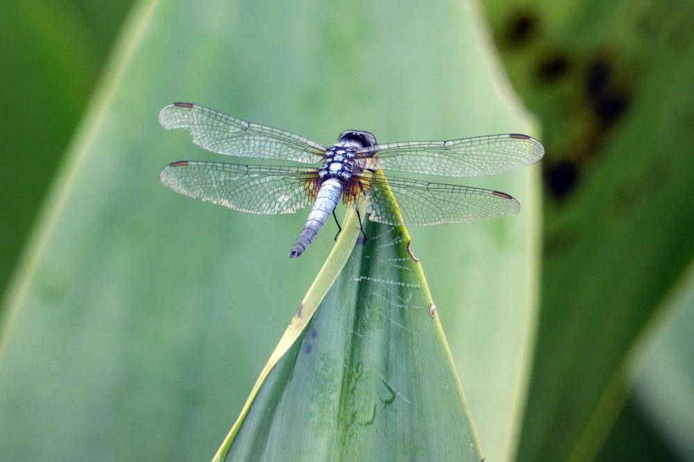 Travelbay Borneo Tours - Neil & Fiona in Borneo - Customer Review - Kinabatangan River, Dragon fly