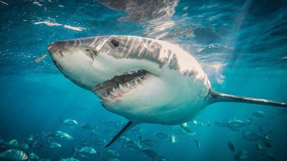 Sharks Maya Bleu