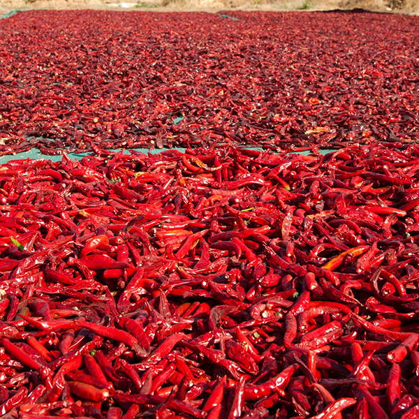 High Quality Organics Express chili de arbol drying in the sun