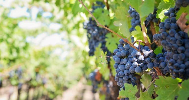 Snoeien druiven - Hoe en wanneer?