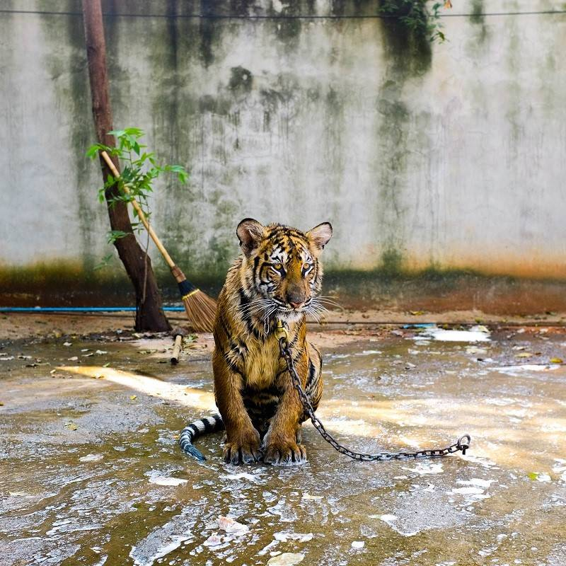 A lonely tiger chained in a concrete enclosure
