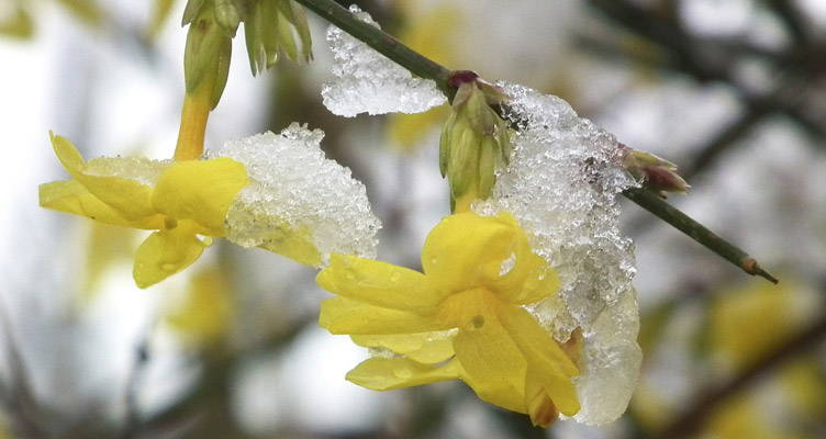 Pruning Winter Jasmine