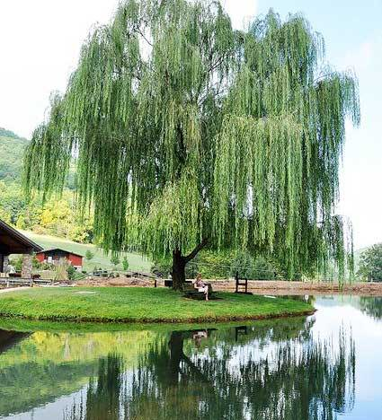 Weeping Willow Tree for Sale