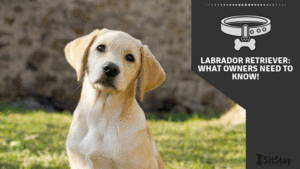 Labrador Retriever: What owners need to know!