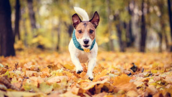 light brown and white jack russell terrier with a blue scarf running through yellow leaves
