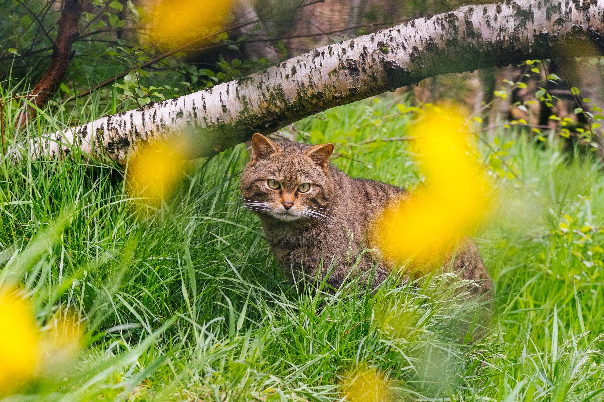 A wildcat crouches among the tall green grasses and yellow flowers