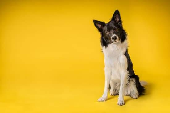A black and white border collie standing in front of a yellow backdrop