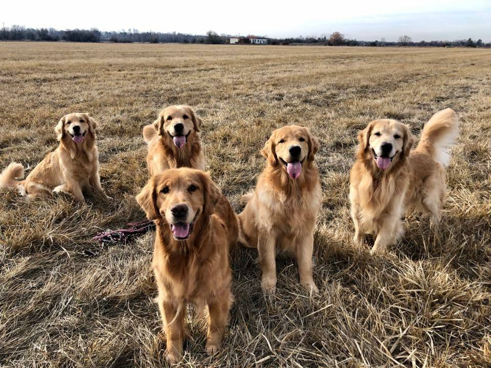 five golden retriever dogs smiling
