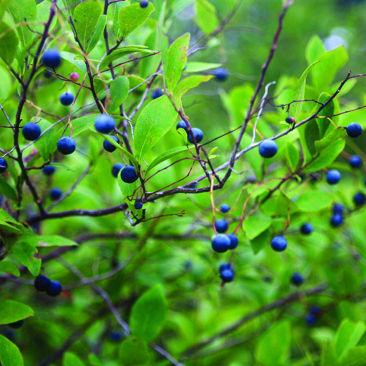 A photograph of wild blueberries