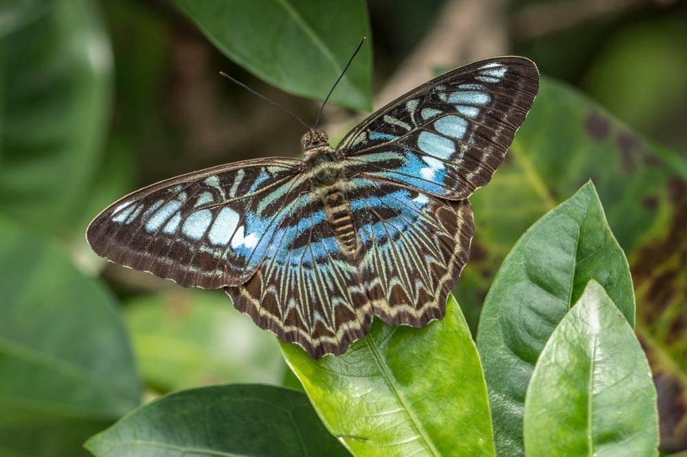 Travelbay Borneo Tours - Customer Reviews - Simon Collard - Kinabatangan River - Clipper Butterfly