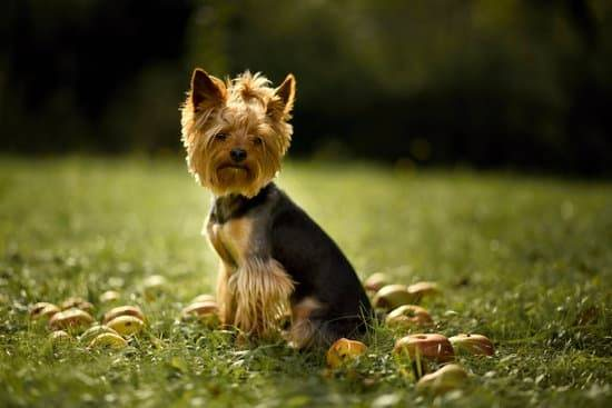 A black and brown small dog standing in grass