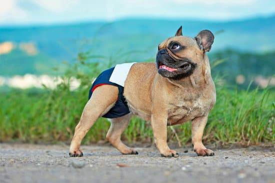 Small brown pug wearing a blue menstrual diaper on a sidewalk in front of grass