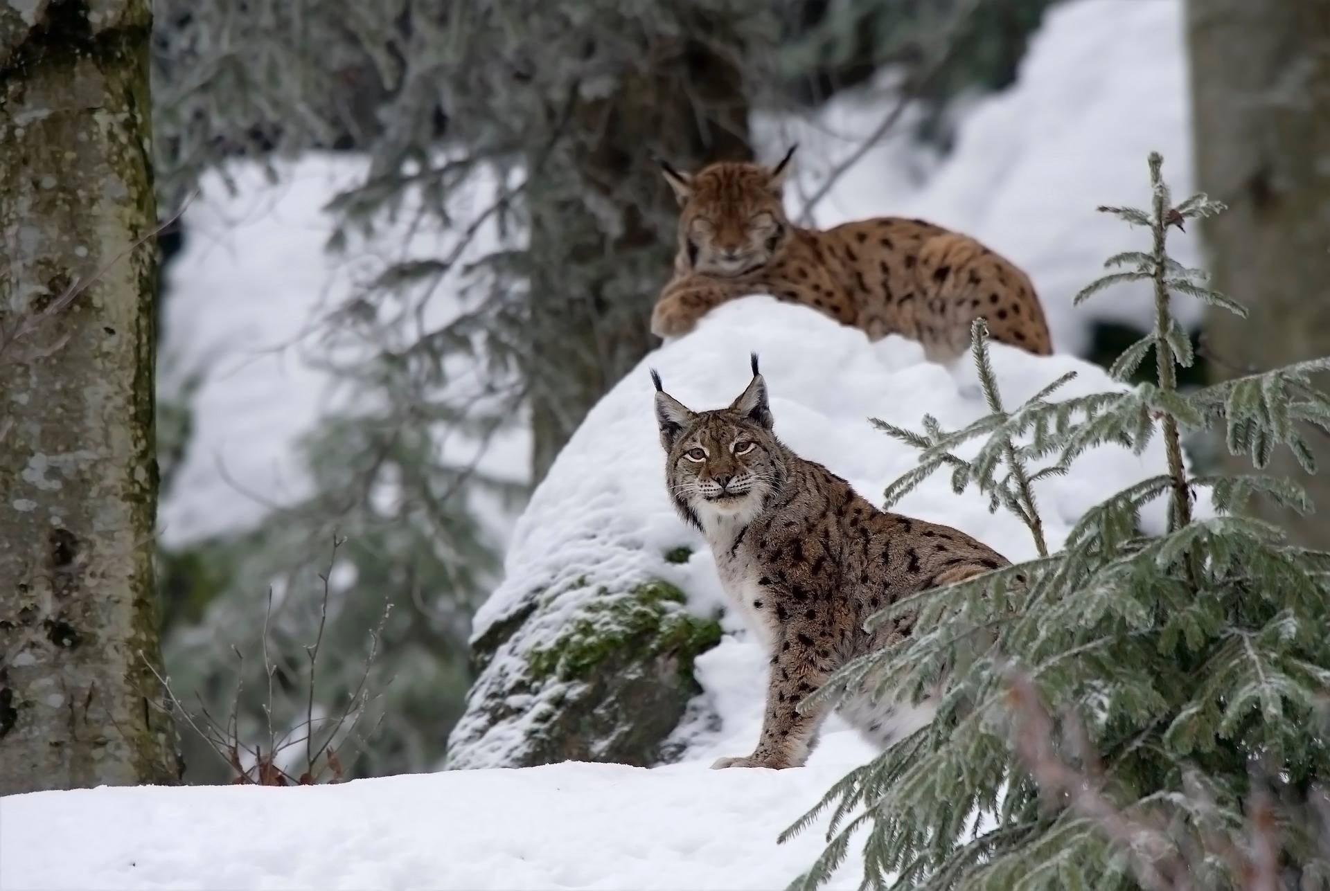 Two Eurasian lynx rest on a chilly day in the forest