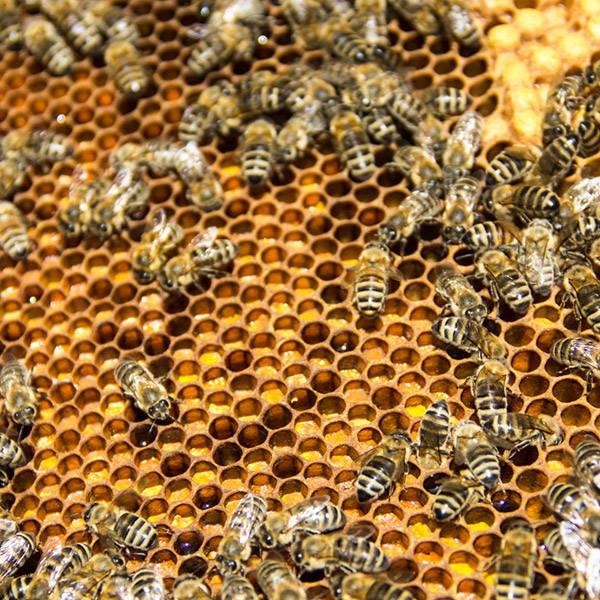 beeswax-hive-bee-honey-purebee