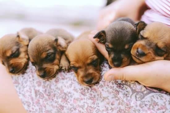 Five sleepy puppies lay on a woman's lap