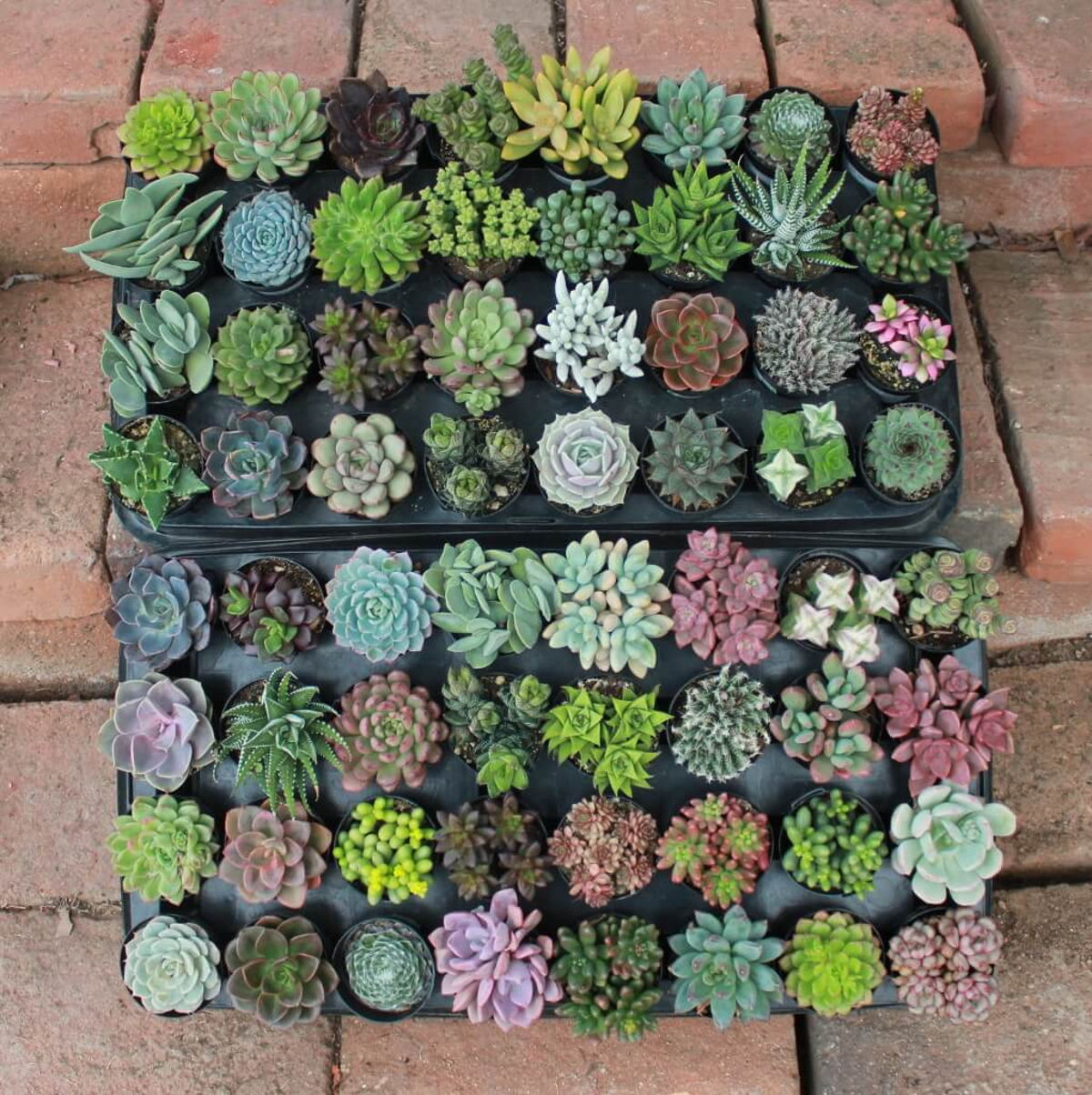 Succulent of the Month Club - Send Gift Succulents