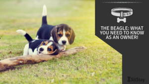 the beagle: what you need to know as an owner