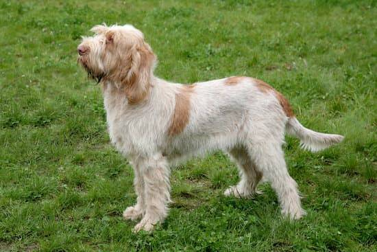 A white and tan Spinone Italian stands on green grasso