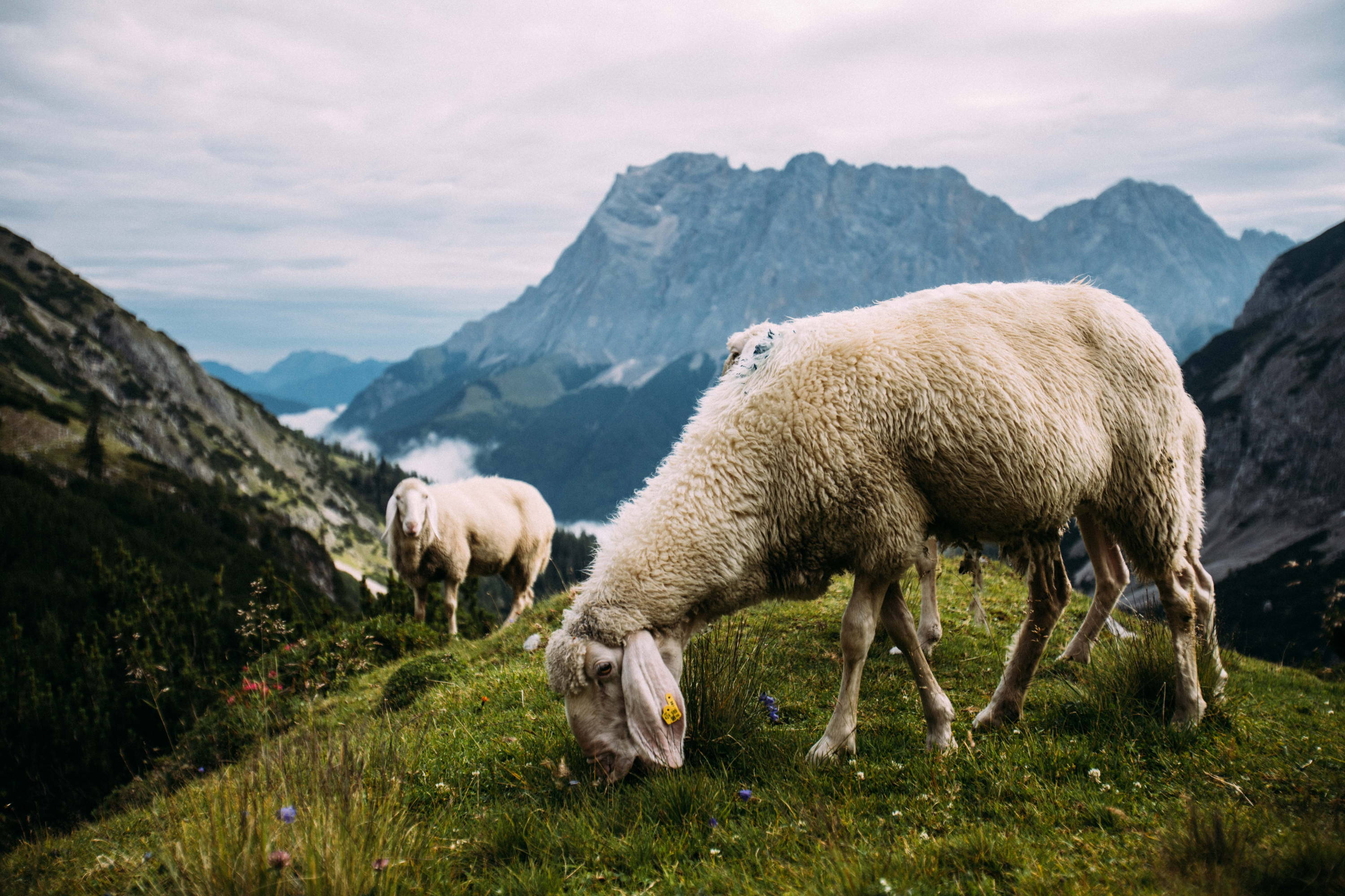 Merino Wool: The Best Fabric Known to Man? Sheep graze on green grass with red and purple wildflowers mixed in atop hill with stark mountains in the background.